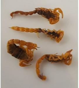 Escorpión dorado de Manchuria